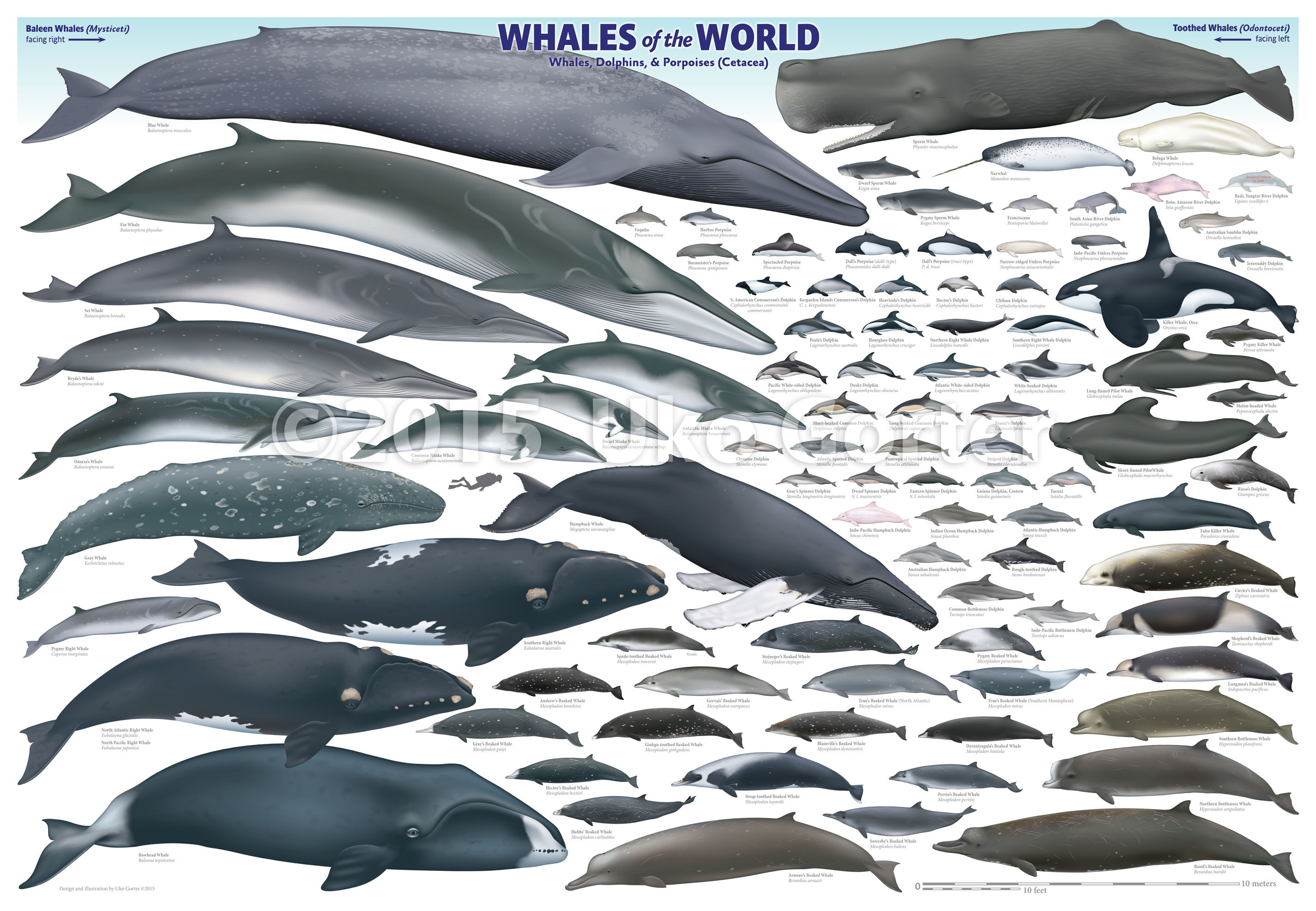 U0027Whales Of The Worldu0027 Poster By Uko Gorter Natural History Illustrations