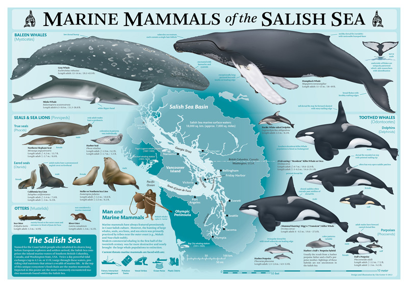 'Marine Mammals of the Salish Sea' Poster illustrated by Uko Gorter